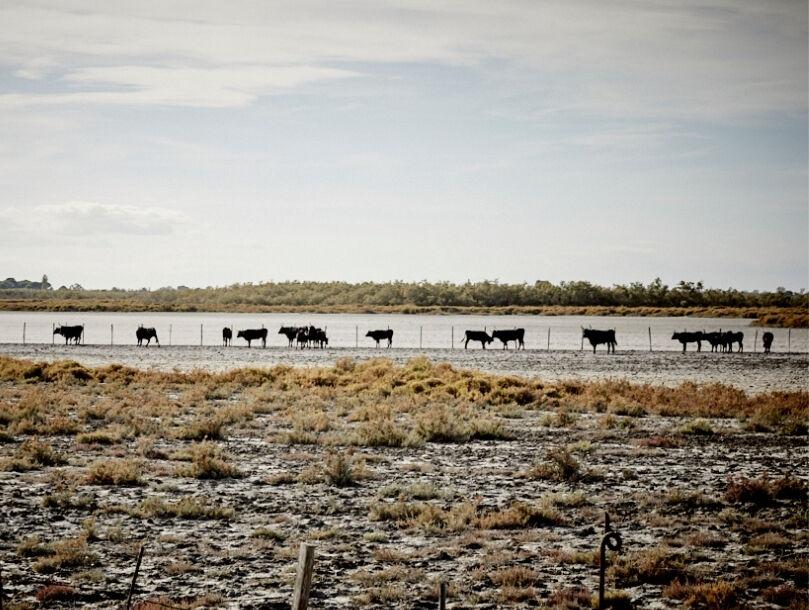 champ taureaux camargue